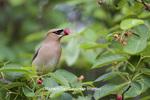 01415-03406 Cedar Waxwing (Bombycilla cedrorum) eating berry in Serviceberry (Amelanchier canadensis) bush, Marion Co. IL