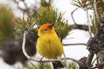 01526-00201 (JM) Western Tanager (Piranga ludoviciana) male Yellowstone NP, WY