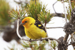 01526-00202 (JM) Western Tanager (Piranga ludoviciana) male Yellowstone NP, WY