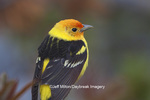 01526-00205 (JM) Western Tanager (Piranga ludoviciana) male Yellowstone NP, WY