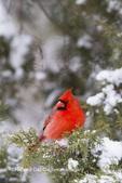 01530-21510 Northern Cardinal (Cardinalis cardinalis) male in Juniper tree (Juniperus keteleeri) in winter Marion Co. IL