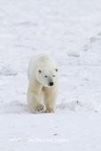 01874-13218 Polar Bear (Ursus maritimus) Churchill Wildlife Management Area Churchill MB