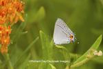 03191-00615 Gray Hairstreak (Strymon melinus) on Butterfly Milkweed (Asclepias tuberosa) Marion Co. IL