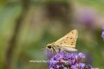 03694-00414 Fiery Skipper (Hylephila phyleus) on Butterfly Bush (Buddleia davidii) Marion Co. IL