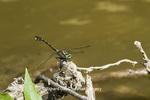 06443-00201 Cobra Clubtail (Gomphus vastus) Kaskaskia River Fayette Co. IL