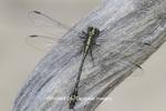06477-00102 Riverine Clubtail (Stylurus amnicola) Kaskaskia River Fayette Co. IL