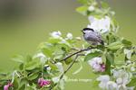 01299-03410 Carolina Chickadee (Poecile carolinensis) in Crabapple tree (Malus sp.) in spring Marion Co. IL