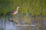 00963-00207 Greater Yellowlegs (Tringa melanoleuca) in wetland, Marion Co. IL