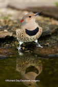 01193-013.04 Northern Flicker (Colaptes auratus) female at water, Marion Co. IL