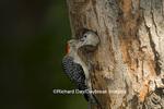 01196-033.02 Red-bellied Woodpecker (Melanerpes carolinus) male feeding nestling at nest cavity, Marion Co. IL