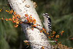 01206-03112 Downy Woodpecker (Picoides pubescens) male on birch tree with bittersweet vine, Marion Co. IL
