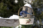 01288-04609 Blue Jay (Cyanocitta cristata) eating sunflower seeds from basket in winter Marion Co.  IL