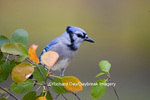 01288-04805 Blue Jay (Cyanocitta cristata) in Serviceberry Bush (Amelanchier canadensis) in fall, Marion Co. IL
