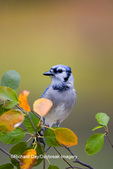 01288-04810 Blue Jay (Cyanocitta cristata) in Serviceberry Bush (Amelanchier canadensis) in fall, Marion Co. IL