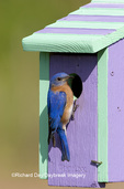 01377-14003 Eastern Bluebird (Sialia sialis) male on nest box, Marion Co. IL