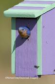 01377-14005 Eastern Bluebird (Sialia sialis) male on nest box, Marion Co. IL