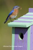 01377-14008 Eastern Bluebird (Sialia sialis) male on nest box, Marion Co. IL