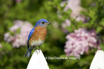 01377-14013 Eastern Bluebird (Sialia sialis) male on picket fence near Lilac bush, Marion Co. IL