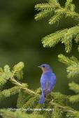 01377-16413 Eastern Bluebird (Sialia sialis) male in Serbian Spruce (Picea omorika)  Marion Co. IL