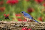 01377-16419 Eastern Bluebird (Sialia sialis) male on fence in flower garden  Marion Co. IL