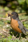 01382-04007 American Robin (Turdus migratorius) with worms, Marion Co. IL