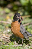 01382-04009 American Robin (Turdus migratorius) with worms, Marion Co. IL