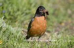 01382-04012 American Robin (Turdus migratorius) with worms, Marion Co. IL