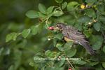 01382-04701 American Robin (Turdus migratorius) immature eating Serviceberry (Amelanchier canadensis) Marion Co.  IL