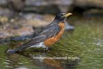 01382-04702 American Robin (Turdus migratorius) bathing, Marion Co.  IL