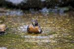 01382-04704 American Robin (Turdus migratorius) bathing, Marion Co.  IL