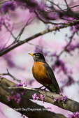 01382-04710 American Robin (Turdus migratorius) in Eastern Redbud tree (Cercis canadensis) Marion Co.  IL
