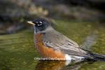 01382-04715 American Robin (Turdus migratorius) bathing, Marion Co. IL