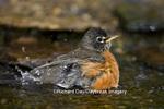 01382-04716 American Robin (Turdus migratorius) bathing, Marion Co. IL