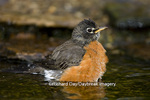 01382-04717 American Robin (Turdus migratorius) bathing, Marion Co. IL