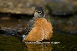 01382-04801 American Robin (Turdus migratorius) bathing, Marion Co. IL