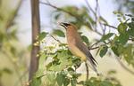 01415-02205 Cedar Waxwing (Bombycilla cedrorum) eating Shadblow Serviceberry  (Amelanchier canadensis) Marion Co. IL