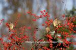01415-02217 Cedar Waxwings (Bombycilla cedrorum) eating Common Winterberries (Ilex verticillata) Marion Co. IL