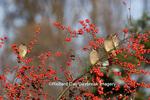 01415-02219 Cedar Waxwings (Bombycilla cedrorum) eating Common Winterberries (Ilex verticillata) Marion Co. IL