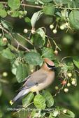 01415-02314 Cedar Waxwing (Bombycilla cedrorum) in Serviceberry Bush (Amelanchier canadensis) Marion Co. IL