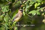 01415-02317 Cedar Waxwing (Bombycilla cedrorum) in Serviceberry Bush (Amelanchier canadensis) Marion Co. IL