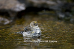 01471-00609 Yellow-rumped Warbler (Dendroica coronata) bathing, Marion Co. IL