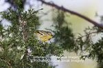 01485-00102 Cape May Warbler (Dendroica tigrina) in Keteleri Juniper tree, Marion Co. IL
