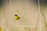 01490-00201 Common Yellowthroat (Geothlypis trichas) male with food in prairie, Marion Co. IL