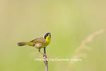 01490-00207 Common Yellowthroat (Geothlypis trichas) male with food in prairie, Marion Co. IL