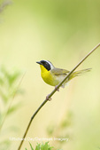 01490-00211 Common Yellowthroat (Geothlypis trichas) male in prairie, Marion Co. IL