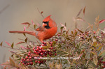 01530-16209 Northern Cardinal (Cardinalis cardinalis) male in Nandina Heavenly Bamboo (Nandina domestica) in winter, Marion Co. IL