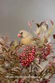 01530-16309 Northern Cardinal (Cardinalis cardinalis) female eating berry Nandina Heavenly Bamboo (Nandina domestica)  in winter, IL