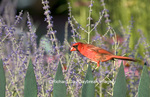 01530-16403 Northern Cardinal (Cardinalis cardinalis) male on fence near Russian Sage (Perovskia atriplicifolia) Marion Co. IL