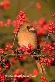 01530-17416 Northern Cardinal (Cardinalis cardinalis), female on Common Winterberry (Ilex verticillata) bush  Marion Co. IL