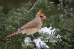 01530-18705 Northern Cardinal (Cardinalis cardinalis) female eating juniper berry in winter, Marion Co.  IL